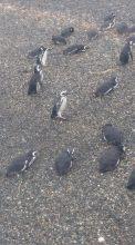 Pingouins Ponto Tombo