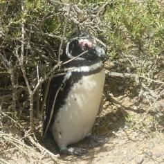 Pingouin Ponto Tombo