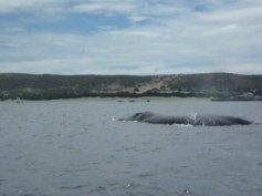 Baleines Péninsule Valdes