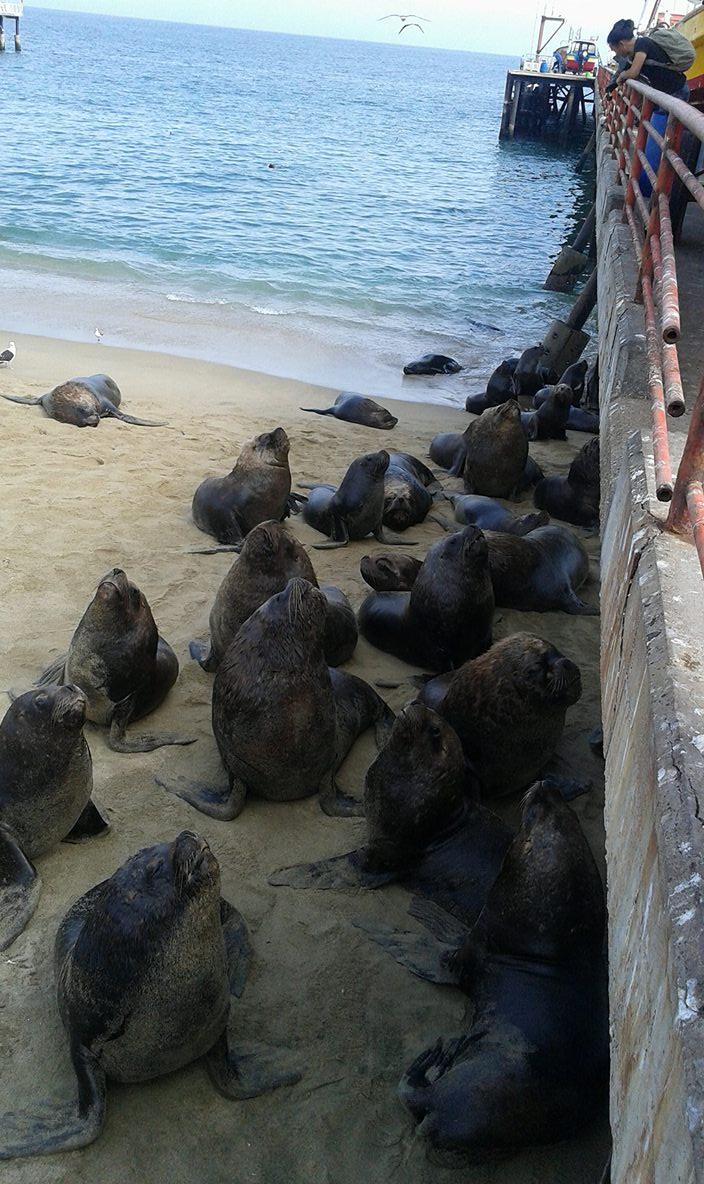 PORTALES lions de mer